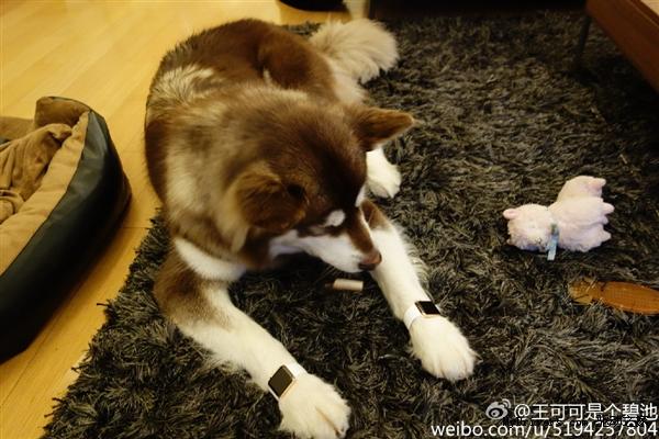 Wang si cong dog apple watch1