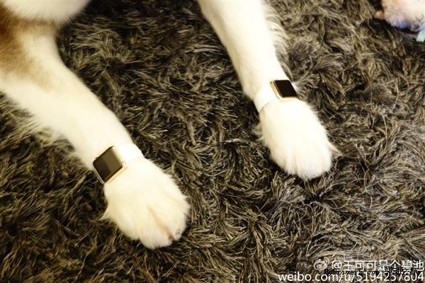 Wang si cong dog apple watch2