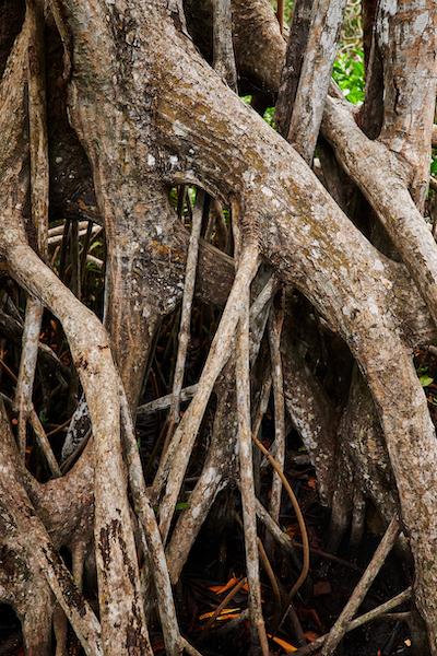 Apple Mangroves Tree 04222019 big jpg large 2x