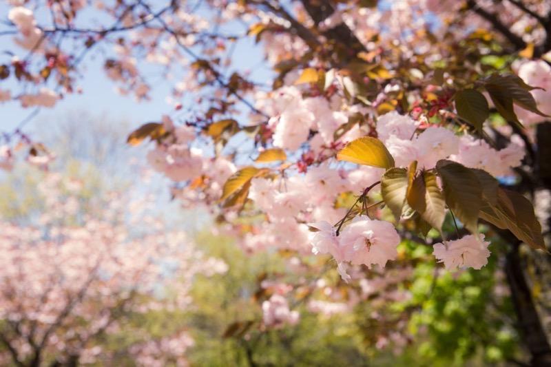 High park cherry blossom rogers